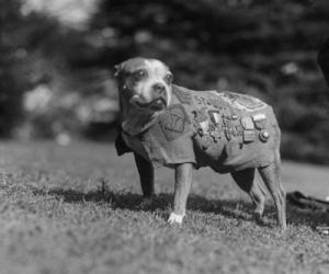 Stubby ~ decorated World War I hero
